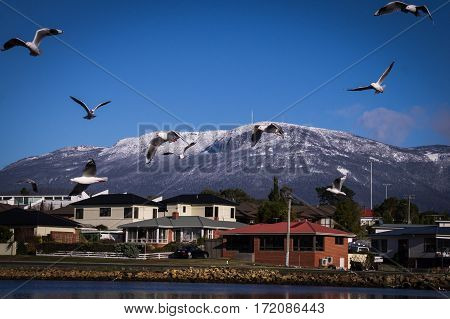 Seagulls with Mount Wellington in background from Lindisfarne near Hobart, Tasmania