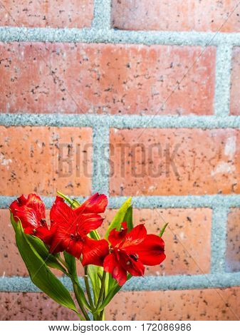 Alstroemeria on [plain brick background portrait orientation
