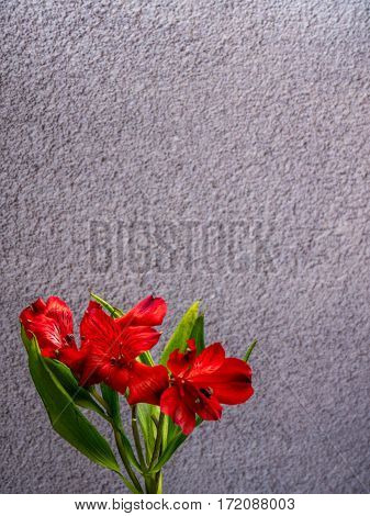 Alstroemeria on plain grey background portrait orientation