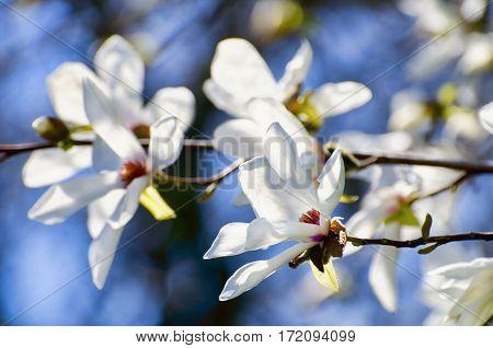 Photo of  Magnolia Flower Blossom Over Blue Sky