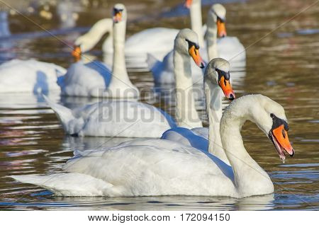Photo of White Swans in Blue Water