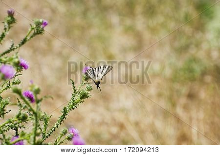 Thistle Flower With Butterfly in Summer Day