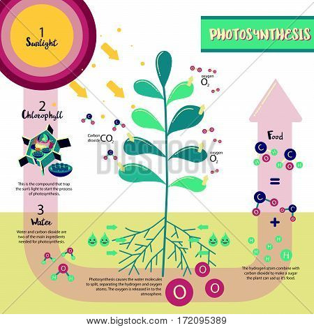 Photosynthesis process diagram illustration vector design infographic
