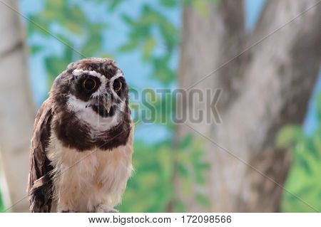 A South American Spectacled owl gazing intently with its large eyes
