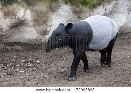 The male tapir runs along the trail to the waterhole