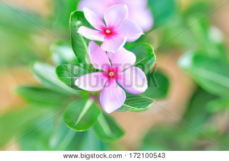ludwigia adscendens or periwinkle flower in blur background