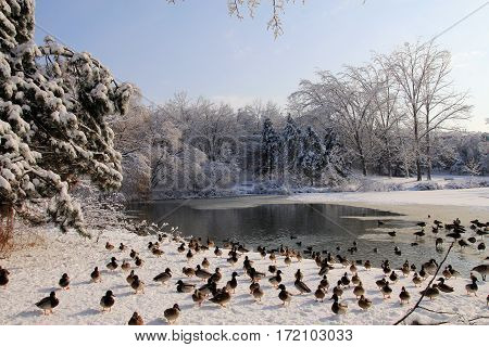 Many ducks in the winter landscape after freezing rain