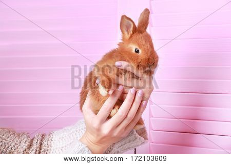 Female hands holding cute funny rabbit on color background