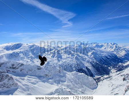 Alpine chough flying over summits of the Swiss Alps, view from Mt. Titlis in winter. The Titlis is a mountain in Switzerland, located on the border between Swiss cantons of Obwalden and Bern.