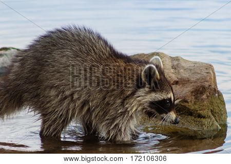 Profile of racoon in lake moving among rocks searching for food with its paws