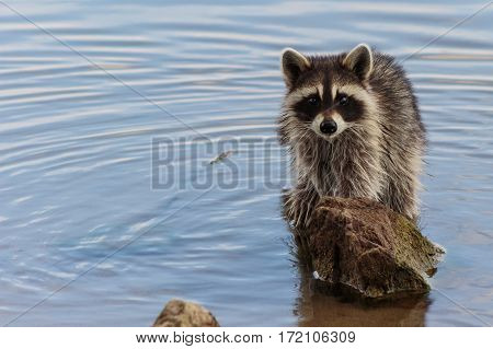 Racoon staring right at you from behind a rock in the lake