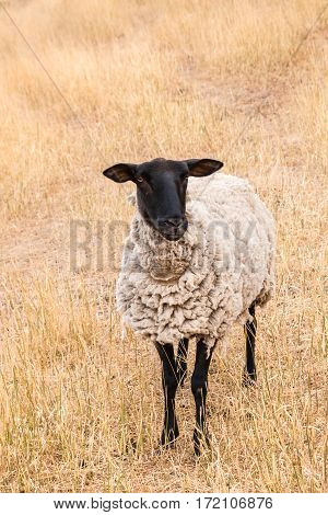 close-up of Suffolk sheep standing on parched grass
