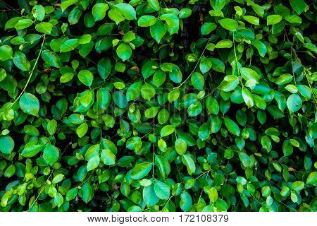 Green leaf Shrubbery wall background in the village