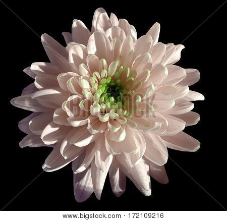 pink flower chrysanthemum garden flower black isolated background with clipping path. Closeup. no shadows. green centre. Nature.