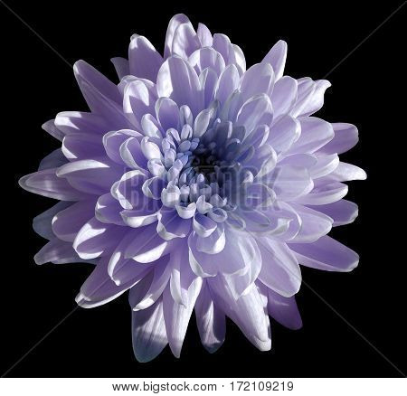 violet flower chrysanthemum garden flower black isolated background with clipping path. Closeup. no shadows. blue centre. Nature.