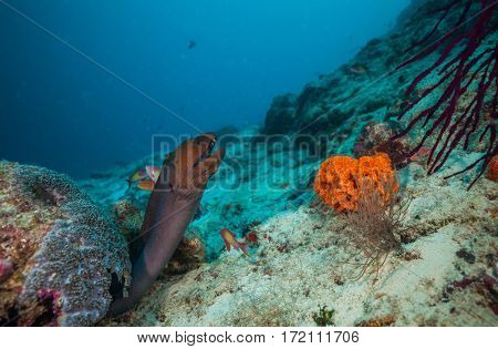 Moray eel hidden under coral reef, Indian ocean, Maldives