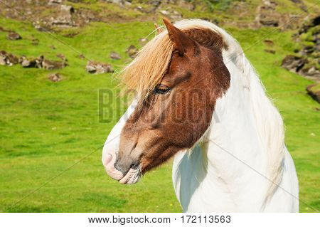 Portrait of the white-brown icelandic horse on the nature background. Summer landscape southern Iceland
