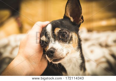 Male chihuahua looks lovingly as a person pets it.
