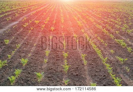 a sugar beet in row close up