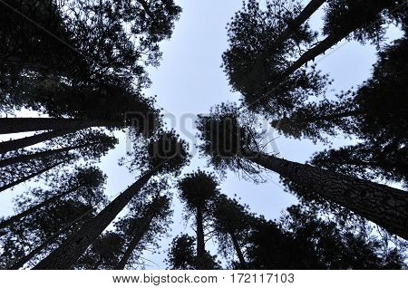 2017 Yosemite, California: Rorschach style silhouette image of a forest grove from the ground up