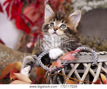 Maine Coon kitten on autumn background
