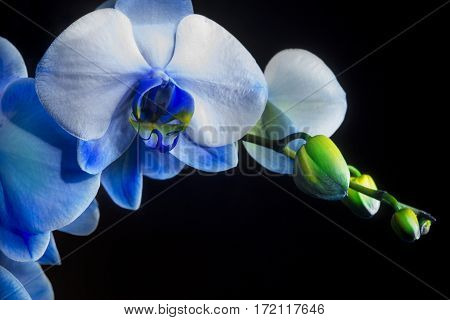 close up of a blue phalaenopsis orchid on black background