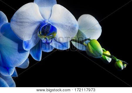 Close-up of blue phalaenopsis orchid on black background