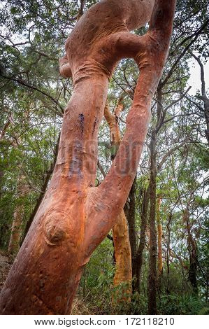 a Sydney red gum (Angophora costata) showing inosculation a trunk growing in on itself