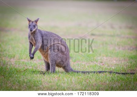 The swamp wallaby (Wallabia bicolor) feeding on grass
