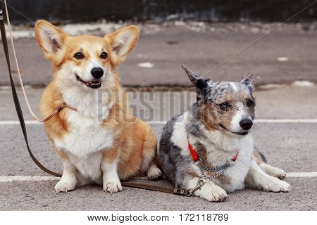 dogs breed Welsh Corgi is walking on open air