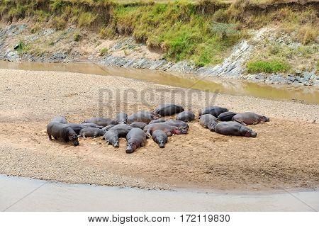 Hippo Family (hippopotamus Amphibius)
