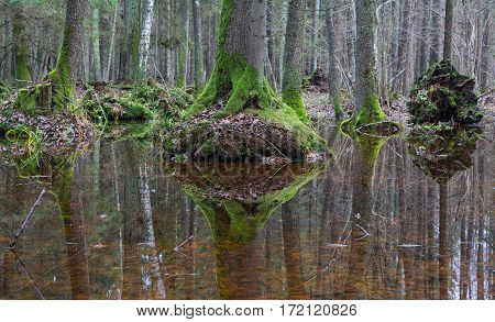 Old alder trees moss wrapped refleciting in water springtime alder-bog stand Bialowieza Forest Poland Europe