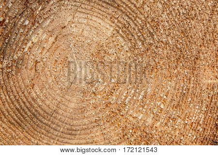 Background of wood with rings of life. Texture of cut tree trunk. Industrial logging of felled pine trees.