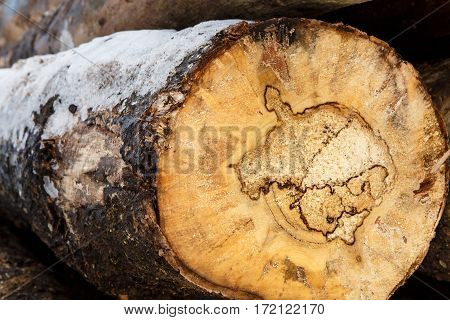 Felled tree trunk covered with snow. Stacks of sawn woods in winter. Industrial logging of pine trees. Nature is used by people.