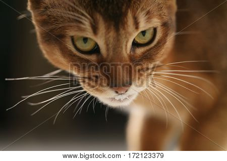 closeup portrait of young abyssinian cat standing in living room, shallow focus