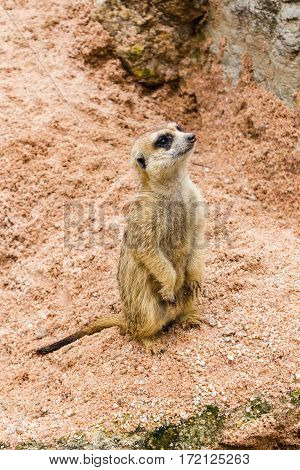 A meerkat standing and watch out for enemy for their pack