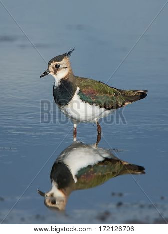 Northern Lapwing standing in water in its habitat