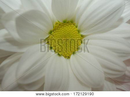 soft light macro chamomile or camomile flowers isolated on white background.simple blossom