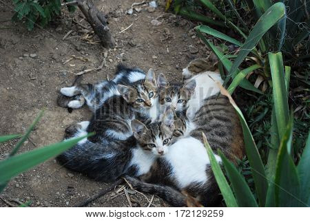 Domestic cat breastfeeding kittens on the ground in backyard poster
