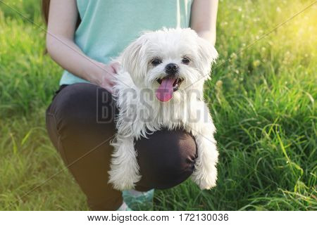 Cute Maltese Dog Sitting In Grass