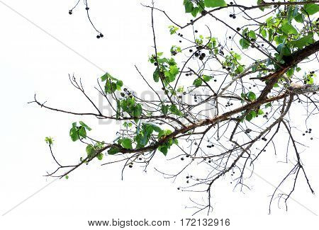 Tree on the white background ,Tree top background
