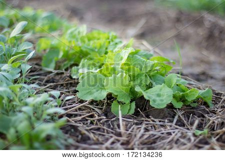 fresh vegetable on the vegetable garden , agriculture grow the vegetable
