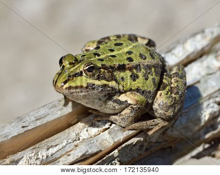Edible frog resting on a branch in its natural habitat