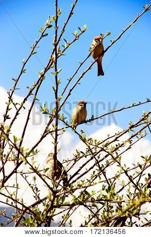 The birds on the branches of a bush on a background of blue sky and snow-capped peaks. Himalaya Nepal.
