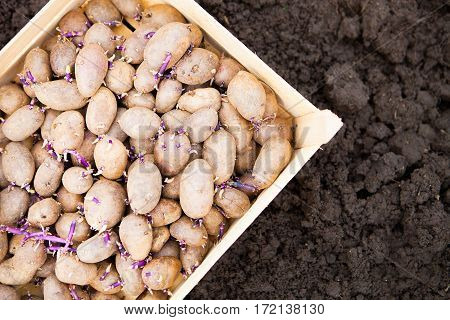 Prepared Germinating Potatoes Before The Planting In Wooden Box