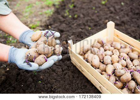 Close-up Of Germinating Potatoes In The Woman Farmer Hands