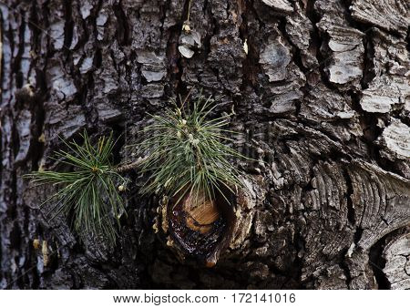 green needles and bark of pine resin
