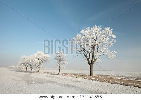 Winter tree on a sunny morning . Poland.