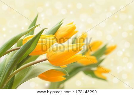Several yellow tulips in bouquet isolated on lightning background