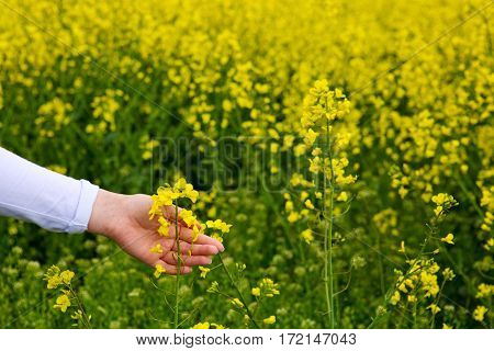 Female hands touching gentle blooming rapeseed crops.